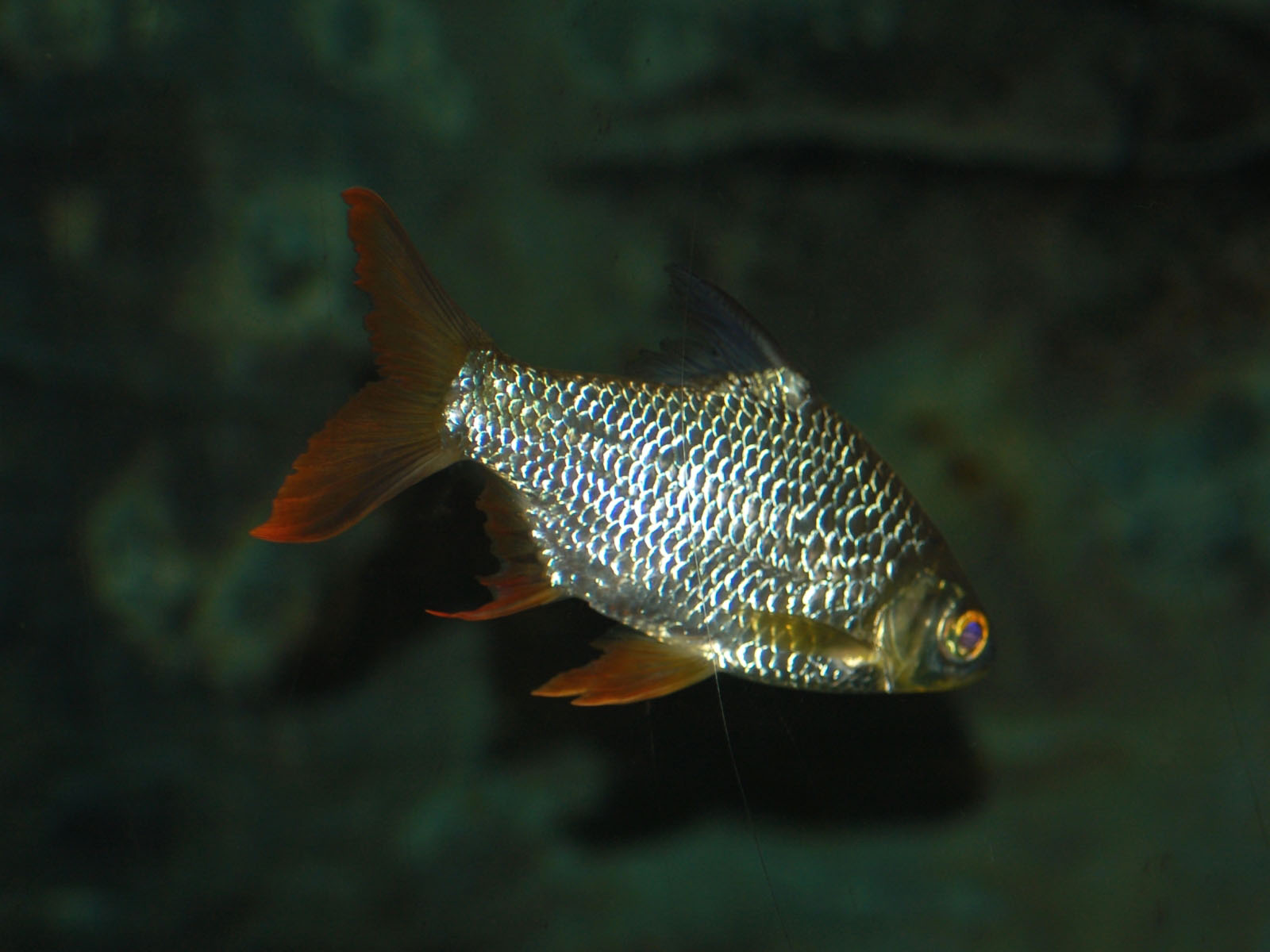 The Online Zoo - Tinfoil Barb