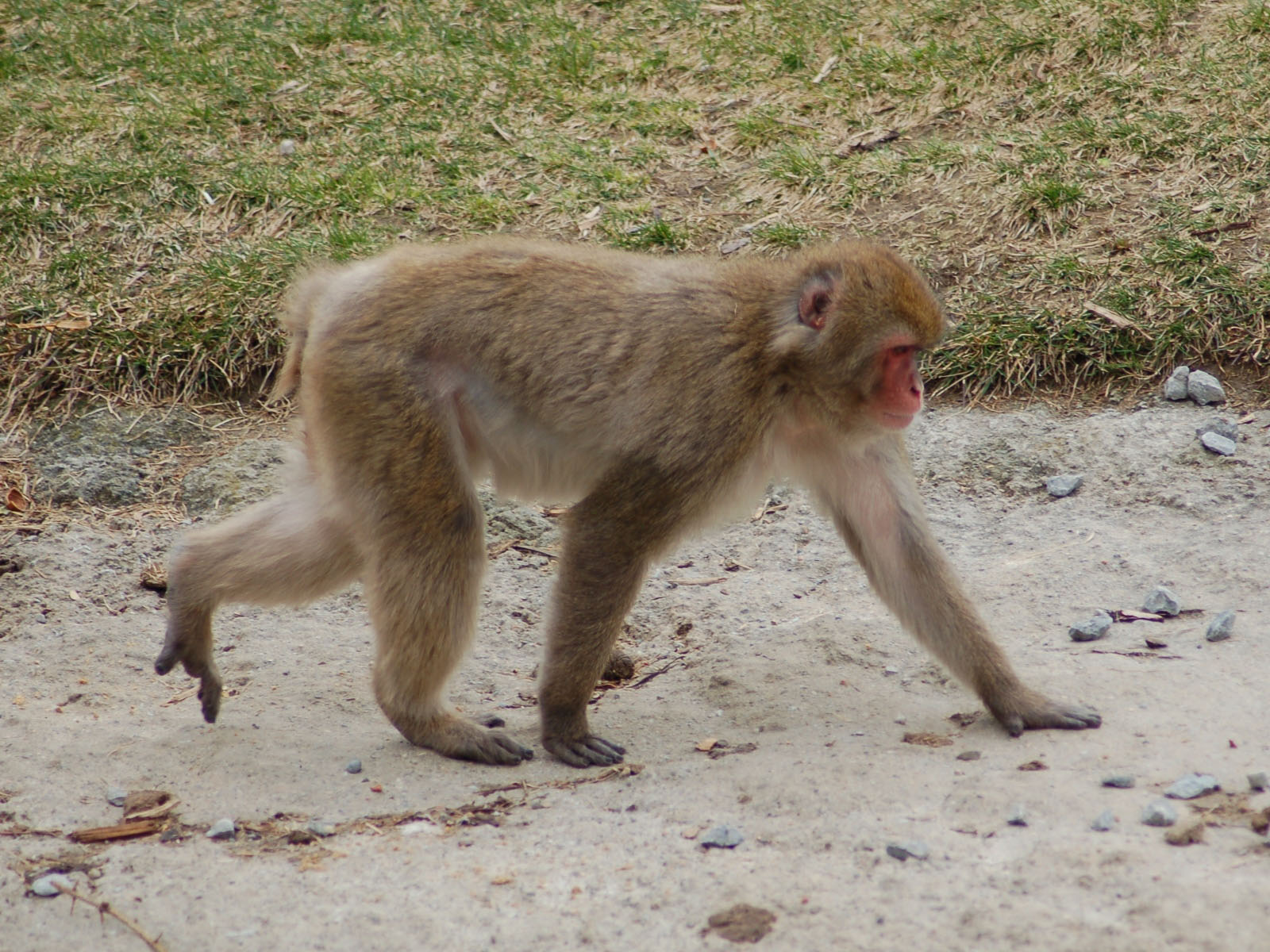 The Online Zoo - Japanese Macaque