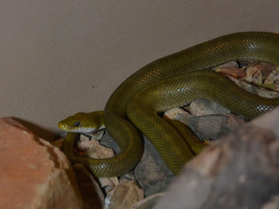 The Online Zoo - Green Rat Snake