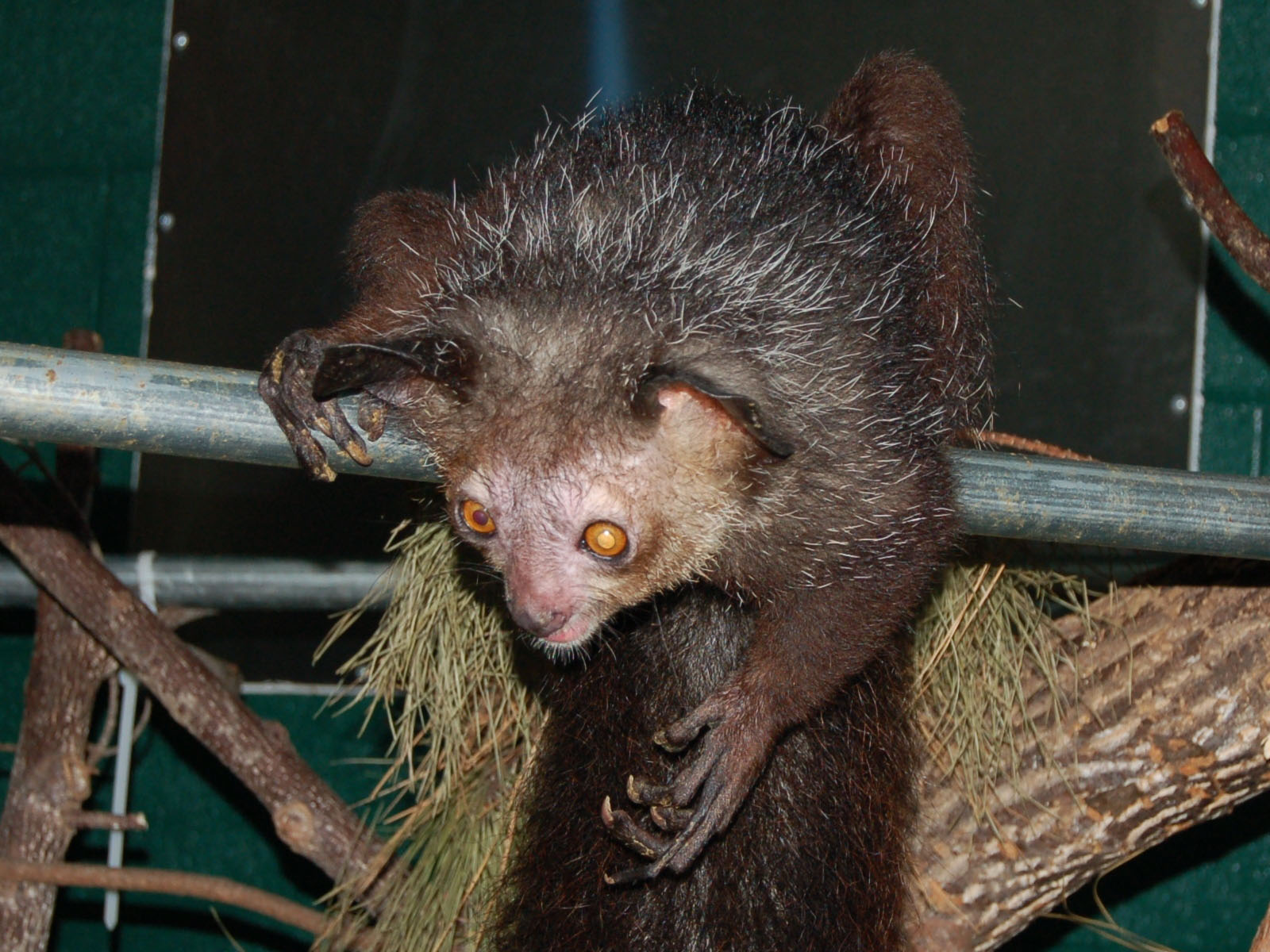 Baby aye aye lemur - photo#22
