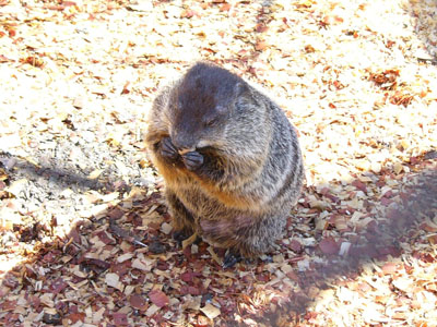 The online zoo woodchuck for Woodchuck usa