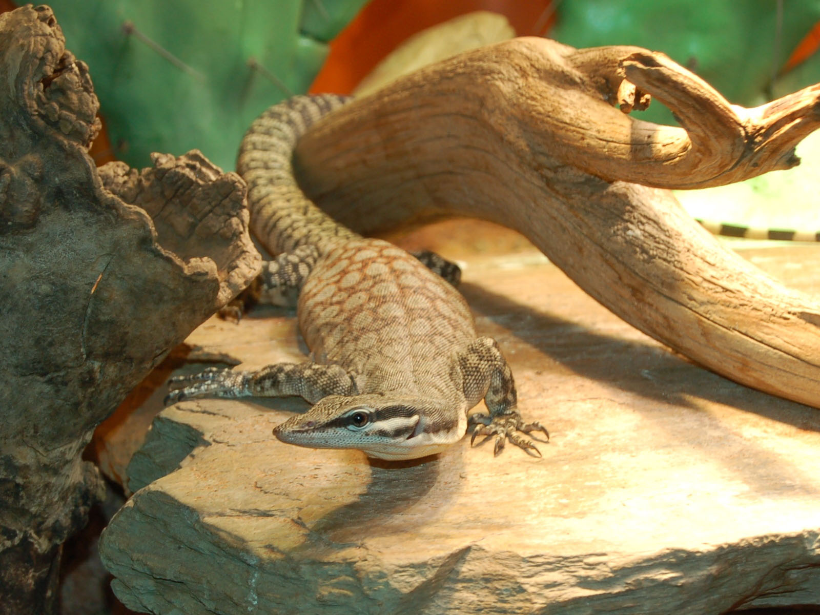 The Online Zoo - Kimberly Rock Monitor
