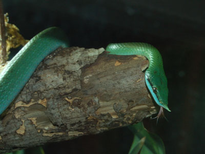 Vietnamese Longnose Snake