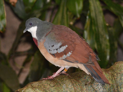 Mindanao Bleeding-heart