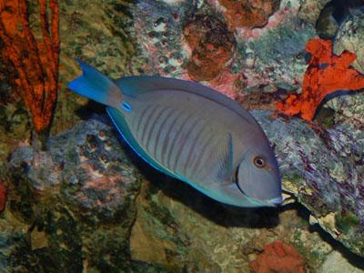Doctorfish - photo#13