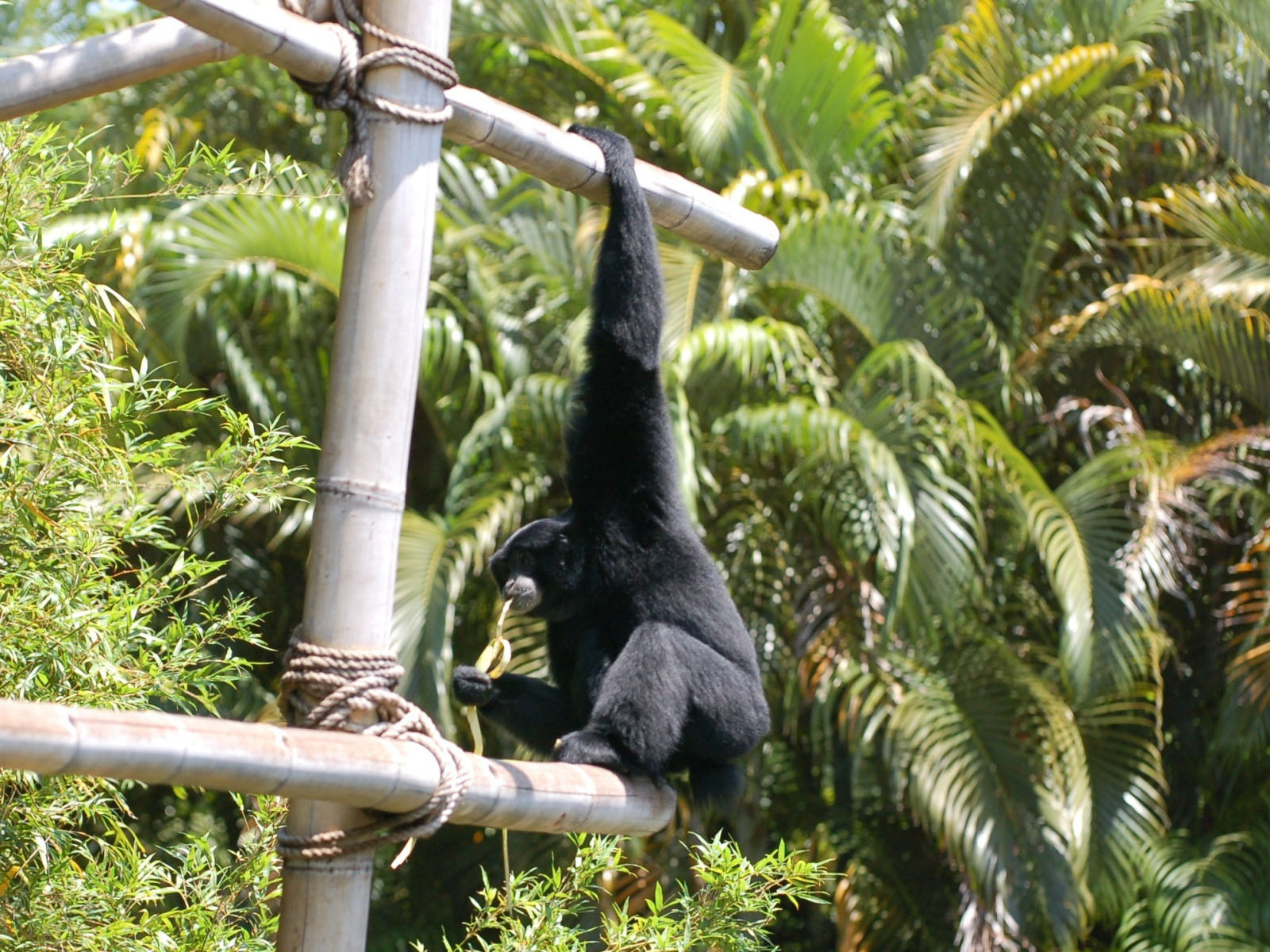 The Online Zoo - Siamang