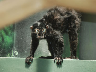 Sclater's Black Lemur