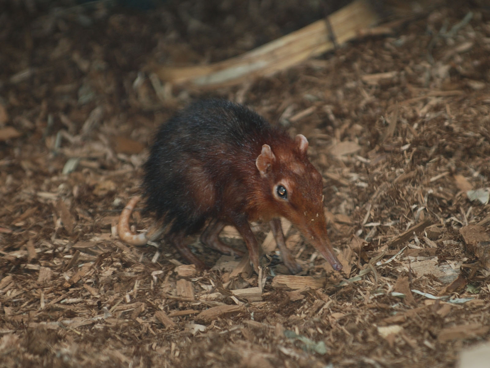 Rufous Elephant Shrew With Youngster Cologne 24th May 2018