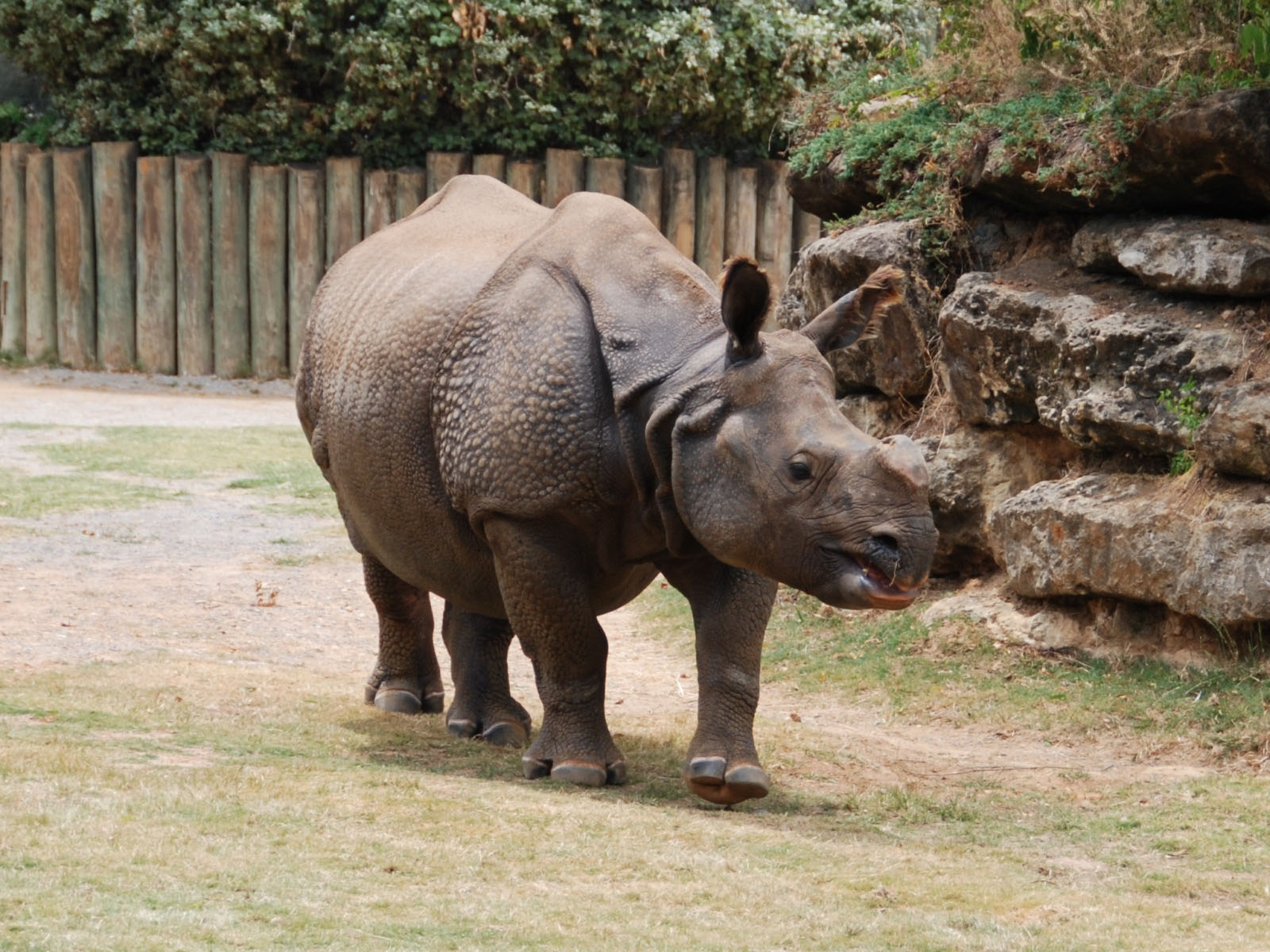 javan rhino facts range habitat diet population pictures - HD 1600×1200