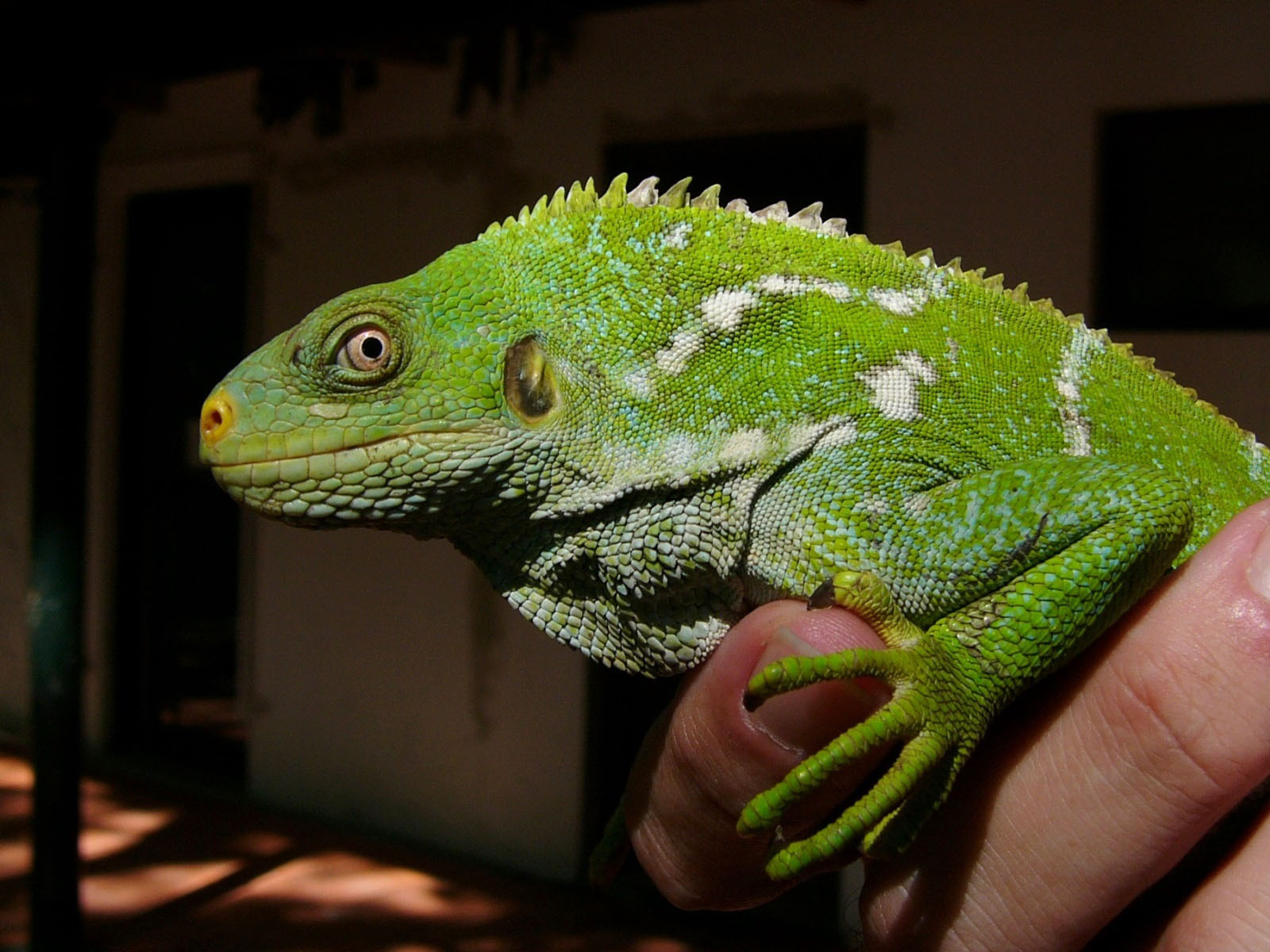 the online zoo fijian crested iguana