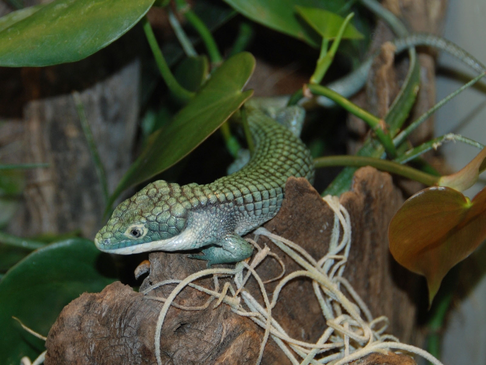 Mexican Alligator Lizard on Baby Zoo Animals Coloring Pages