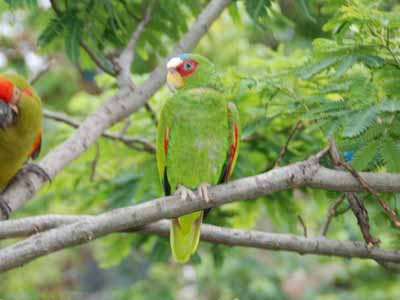 White-fronted Amazon