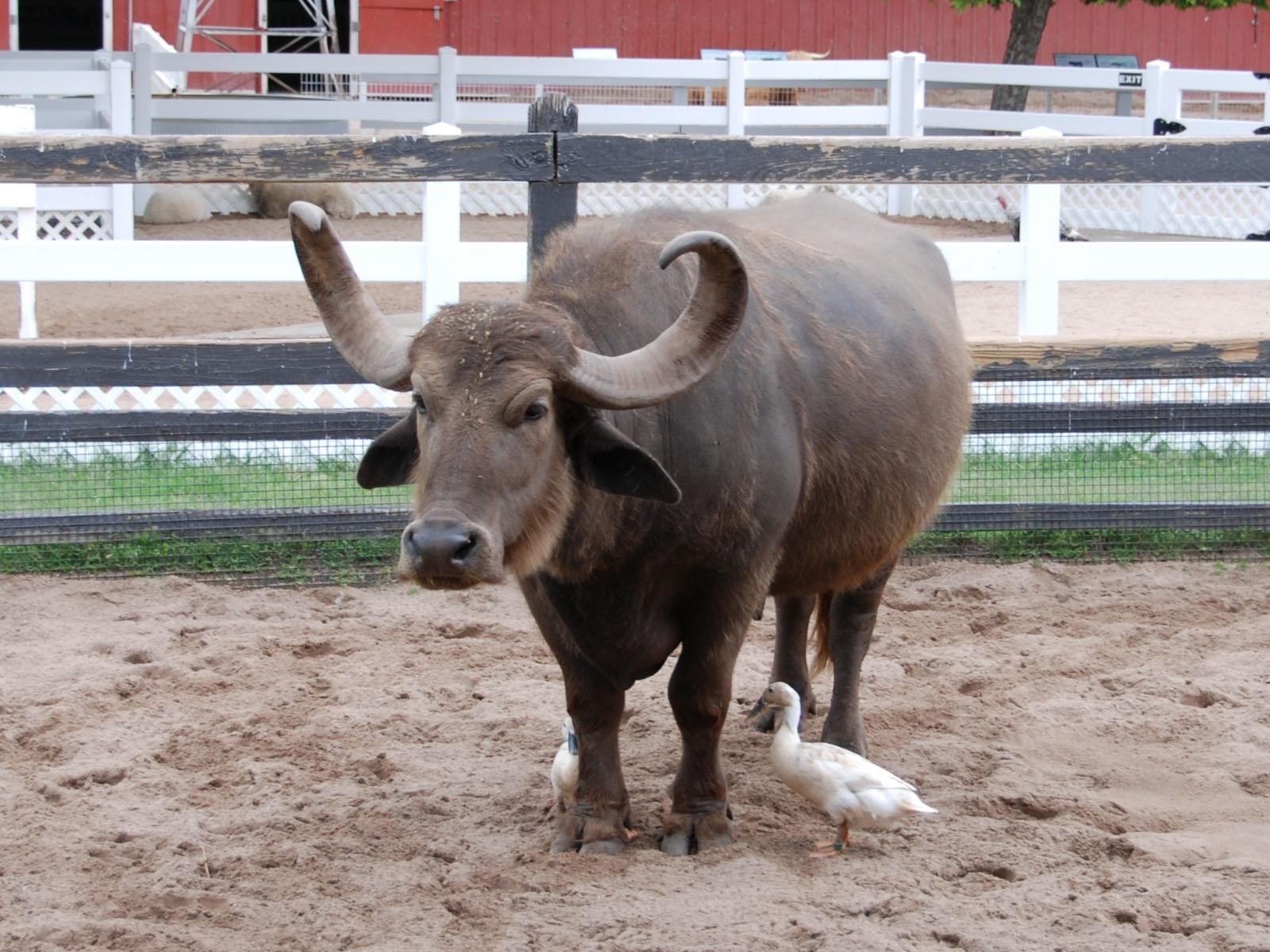 online buffalo