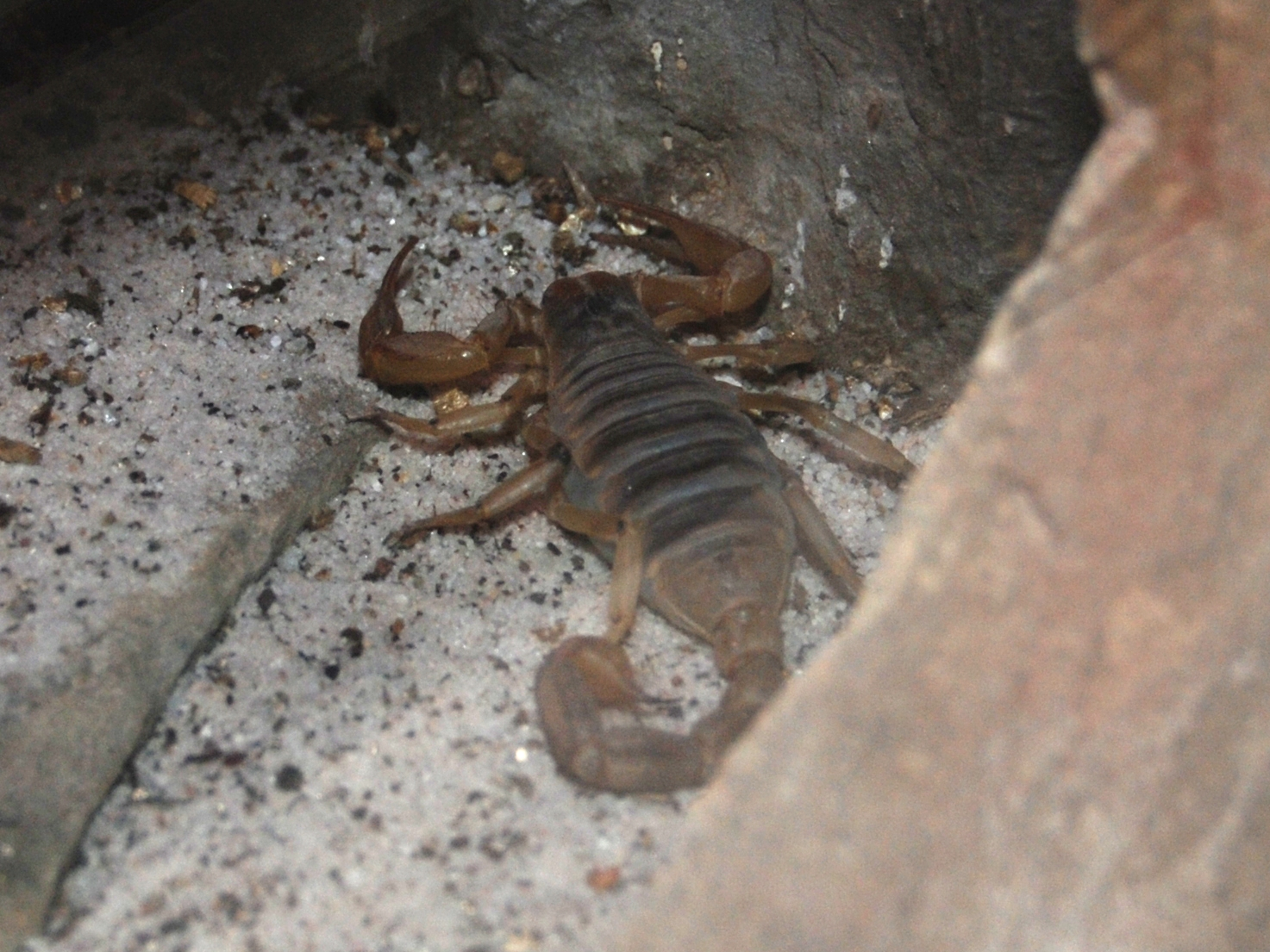 desert scorpion - photo #22