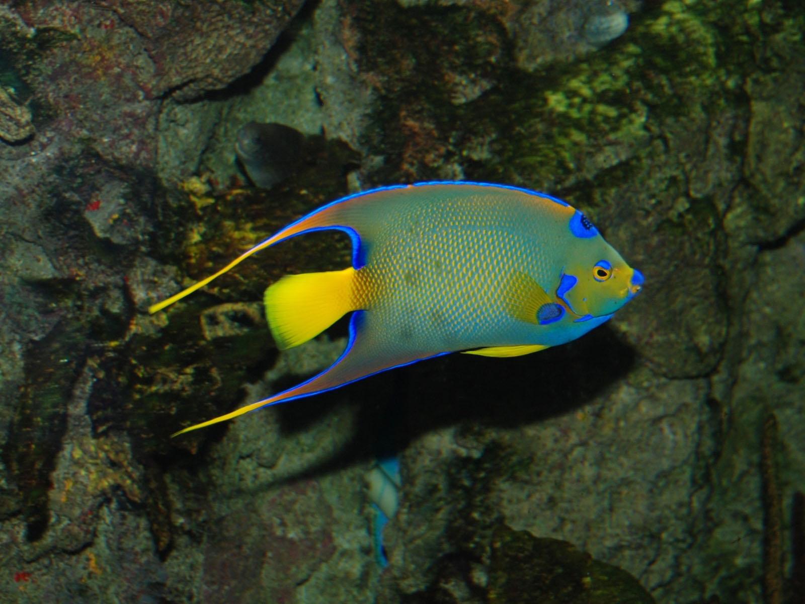 The Online Zoo - Queen Angelfish