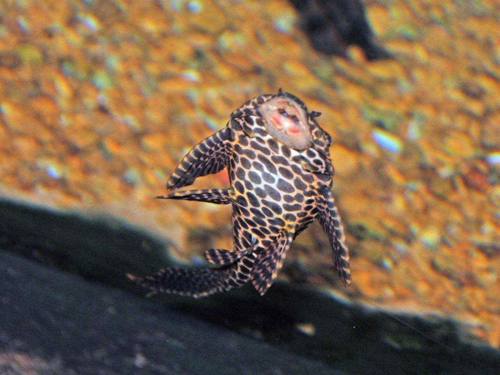 The Online Zoo - Suckermouth Catfish