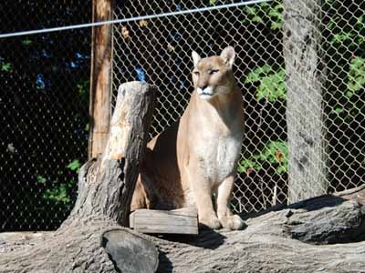 cougars rochester ny