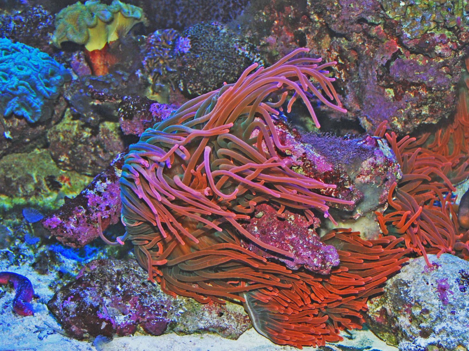 The Online Zoo - Bubble Tip Anemone