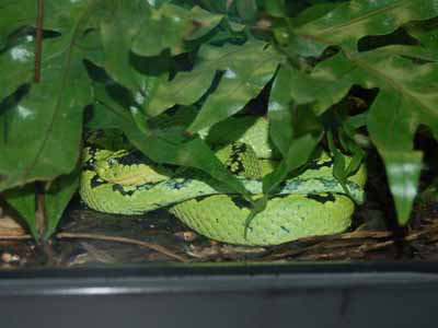 The Online Zoo - Yellow-blotched Palm Pit Viper