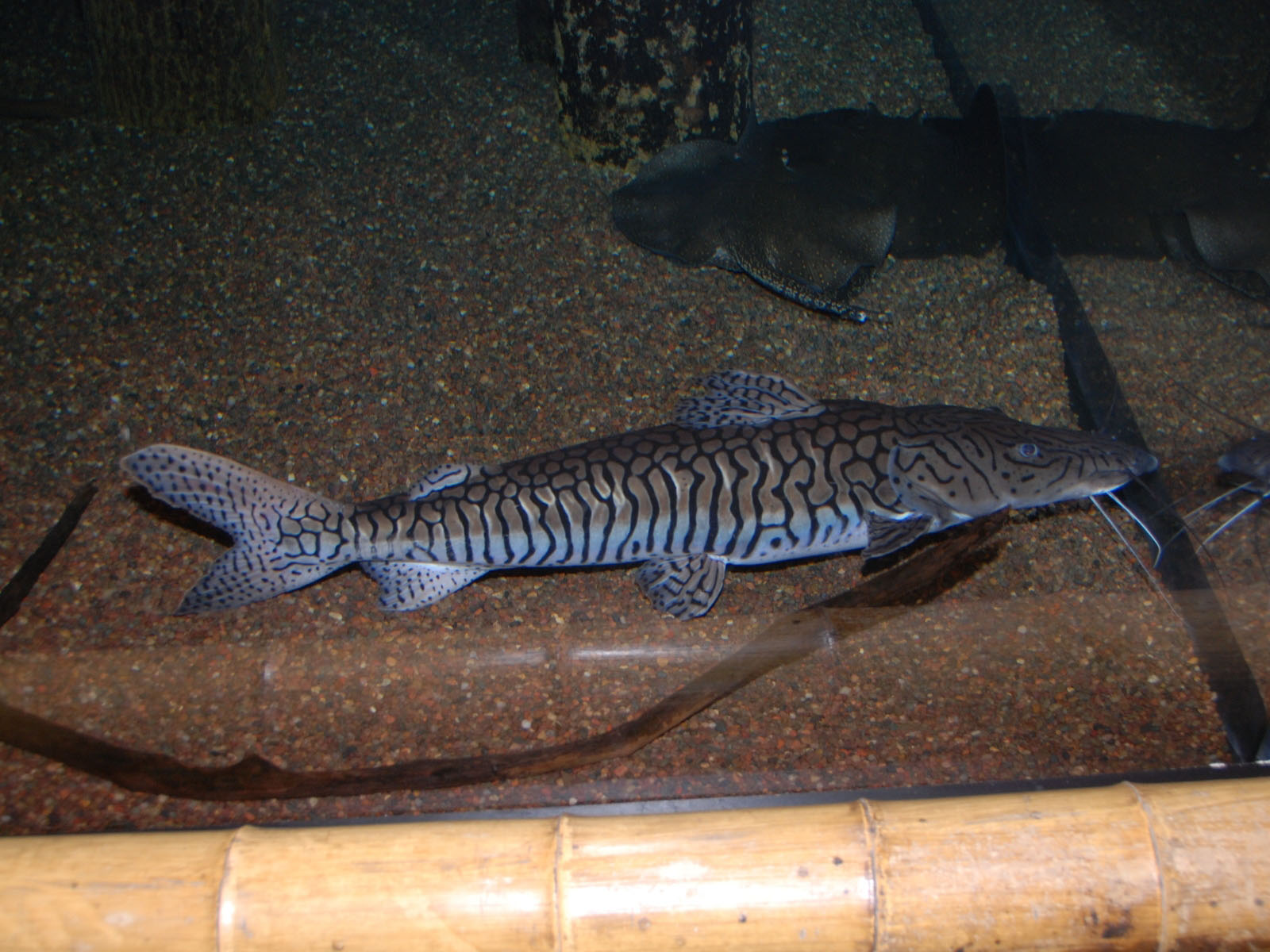 The online zoo leopard catfish for South carolina freshwater fish