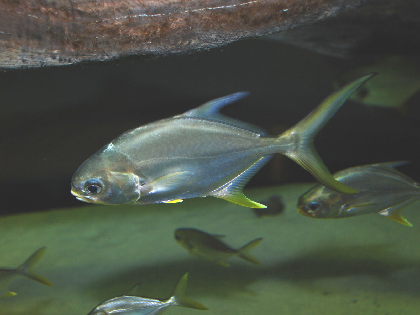 The online zoo florida pompano for South carolina freshwater fish