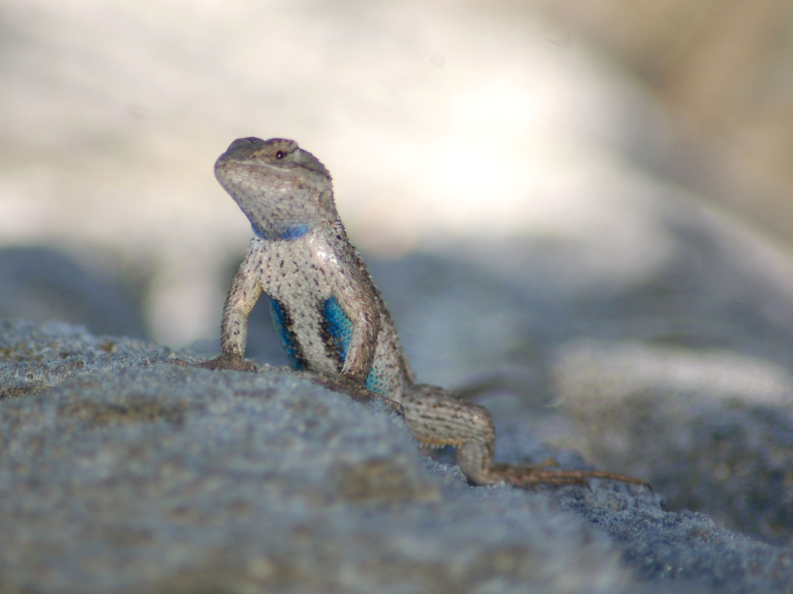 baby western fence lizard best fence for security 2017