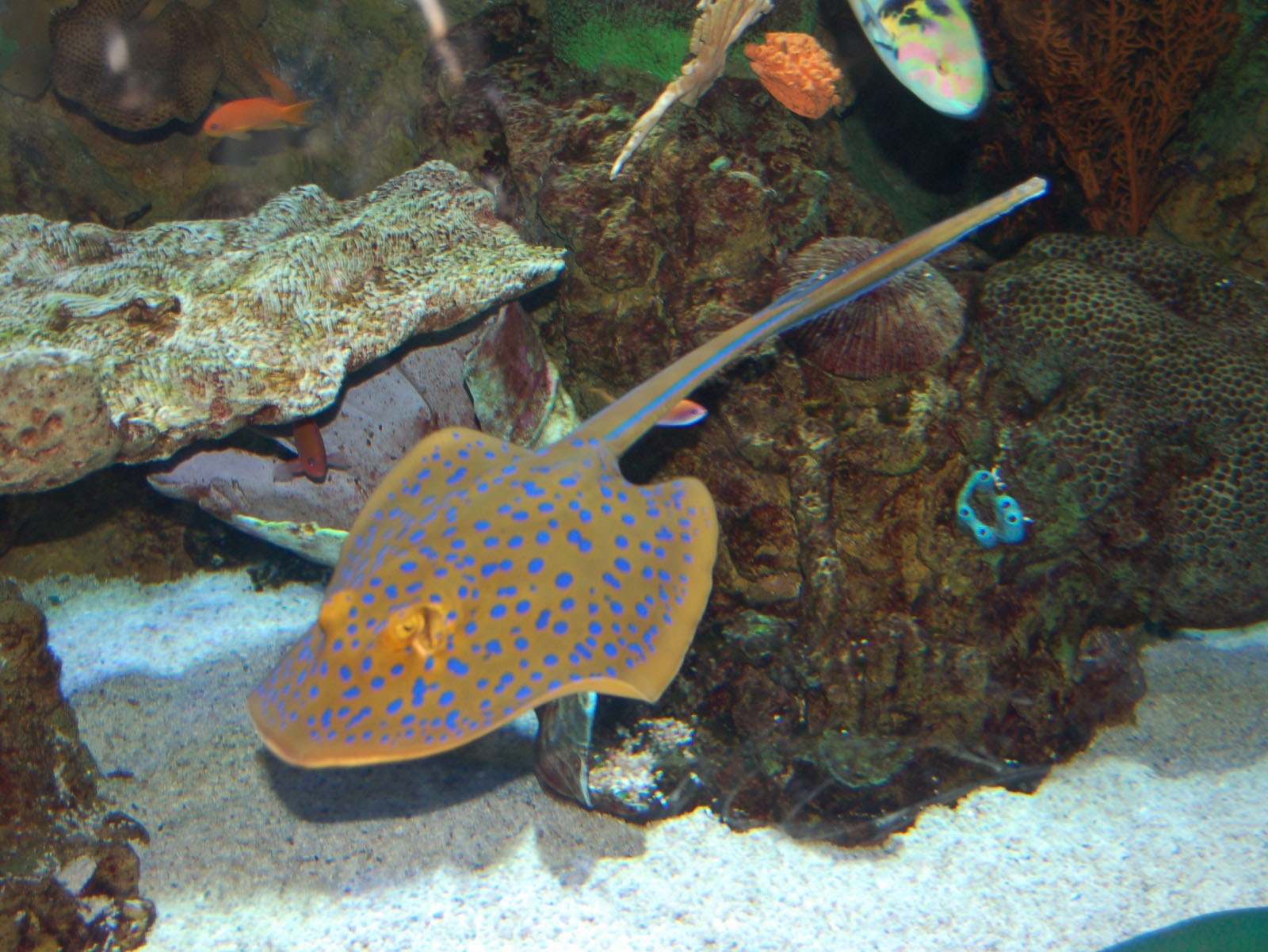 The online zoo blue spotted stingray for Stingray fish tank