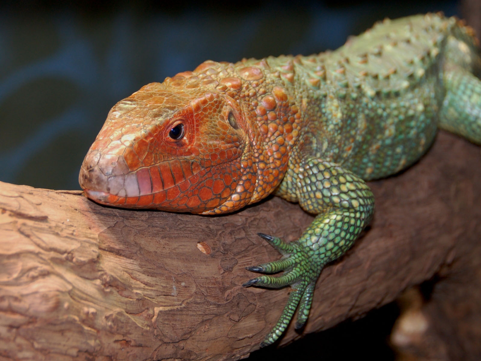Discussion thread: What are your dream reptiles? : reptiles