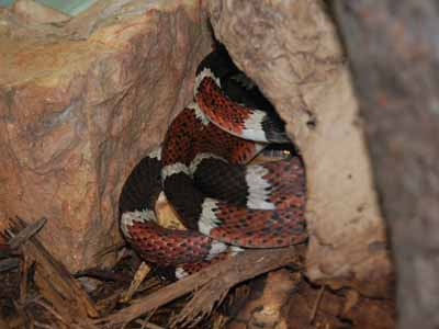 The Online Zoo - Central American False Coral Snake