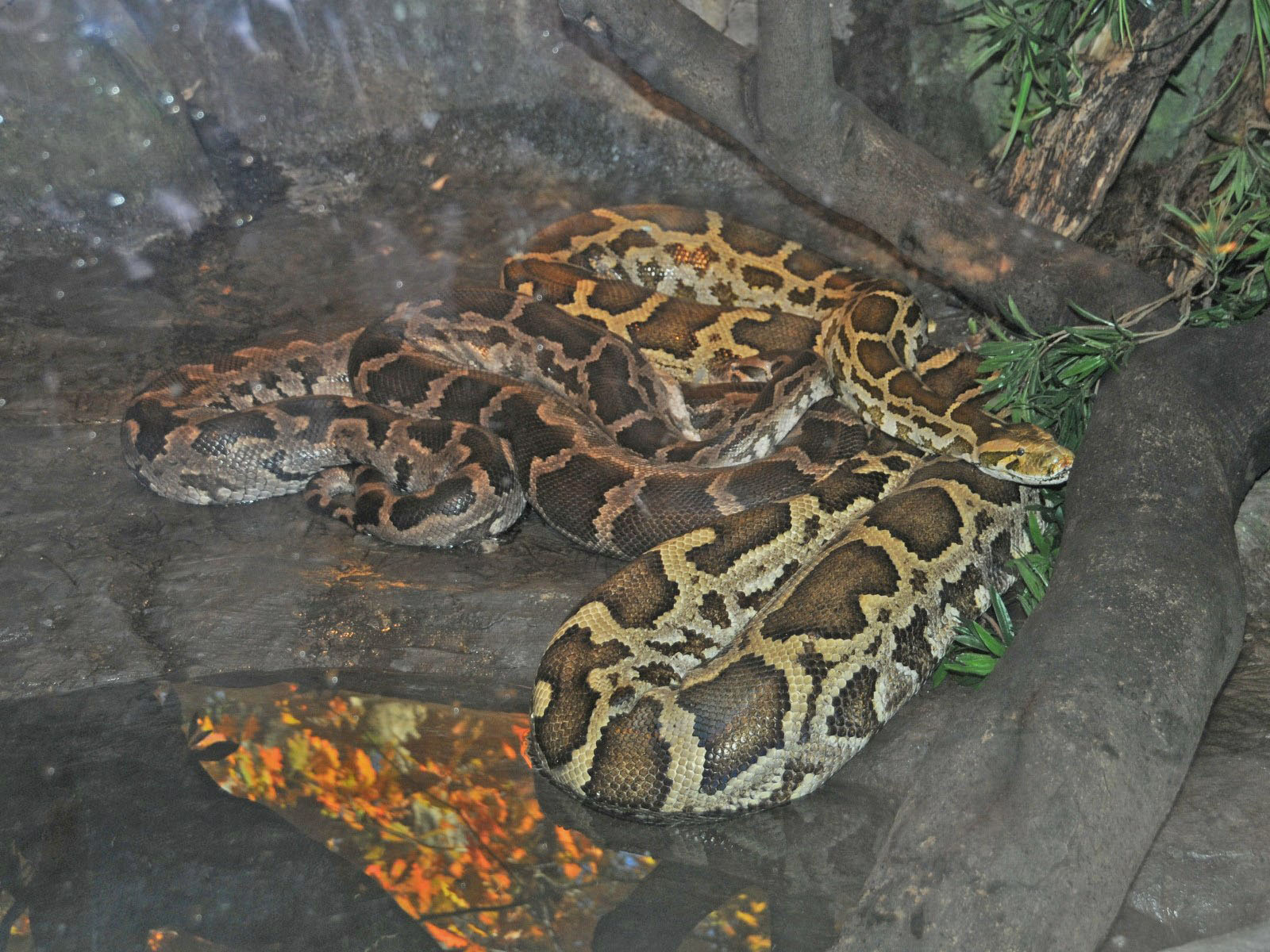 the indian python Researchers studying the genetics of the invasive burmese python (python molurus bivittatus) in the everglades have uncovered a small number of hybridized burmese and indian pythons (python molurus) in their research, which they say could create a super snake that retains the best traits of both.