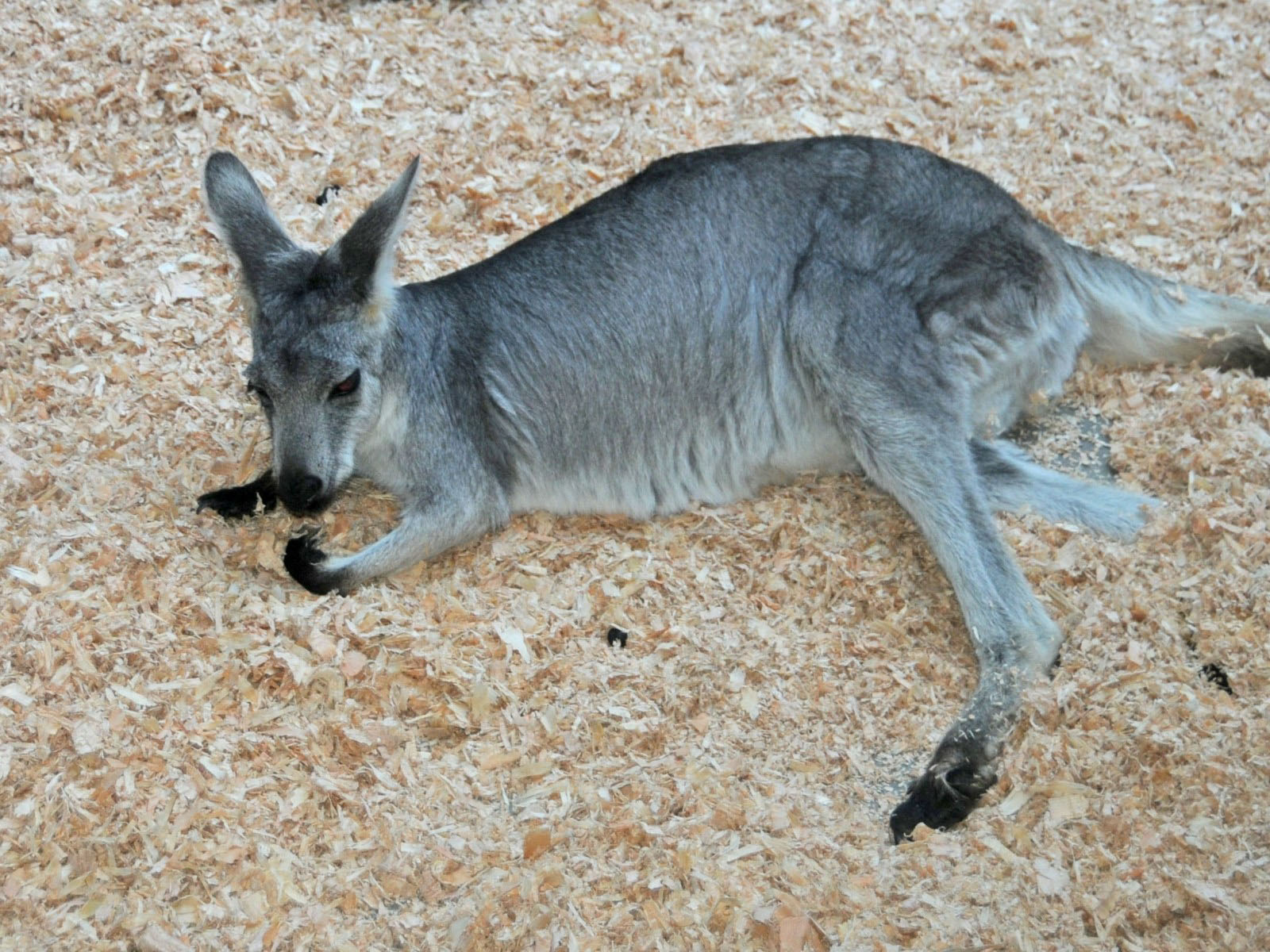 wallaroo - photo #31