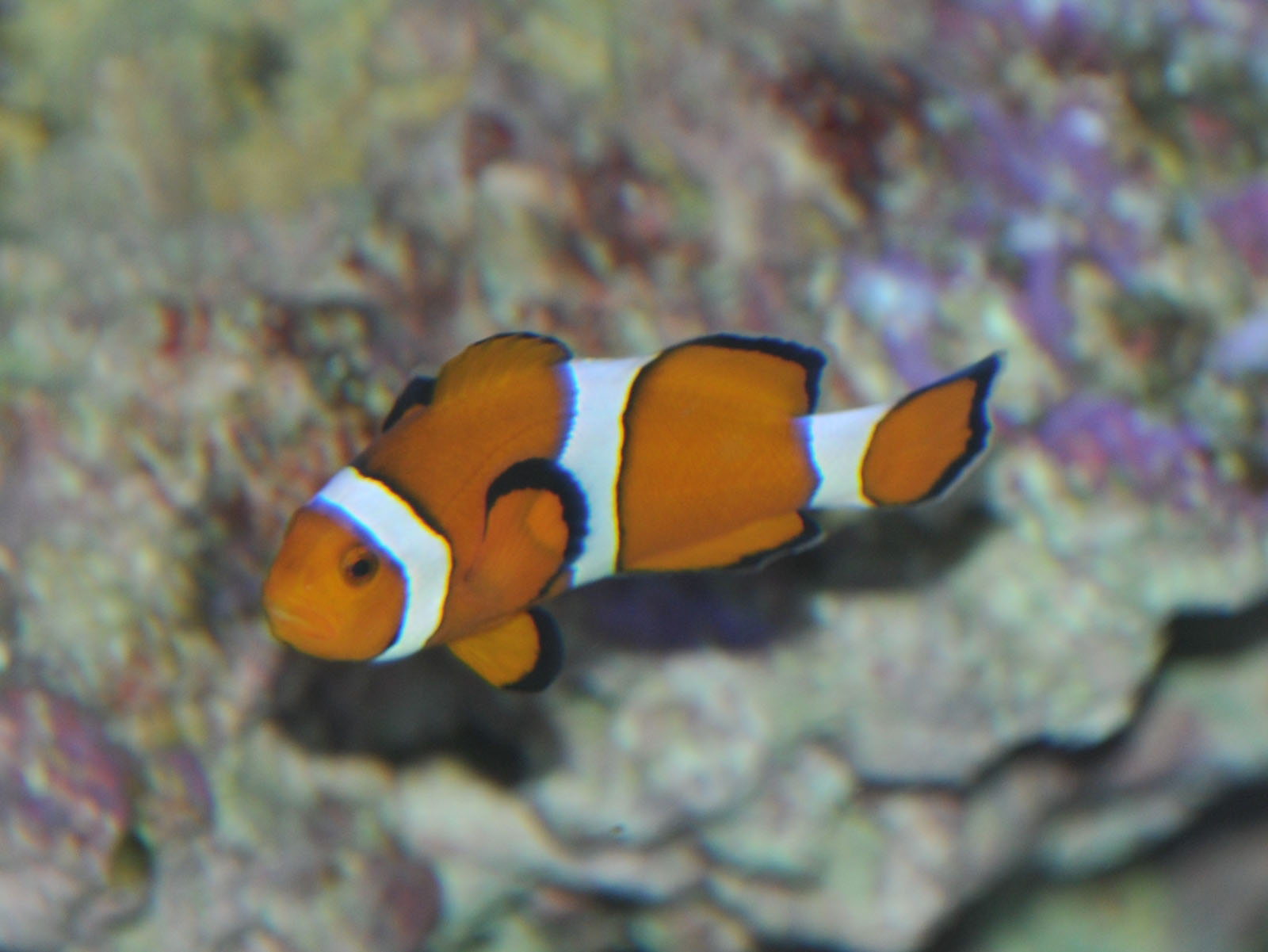 The online zoo orange clownfish for Clown fish for sale