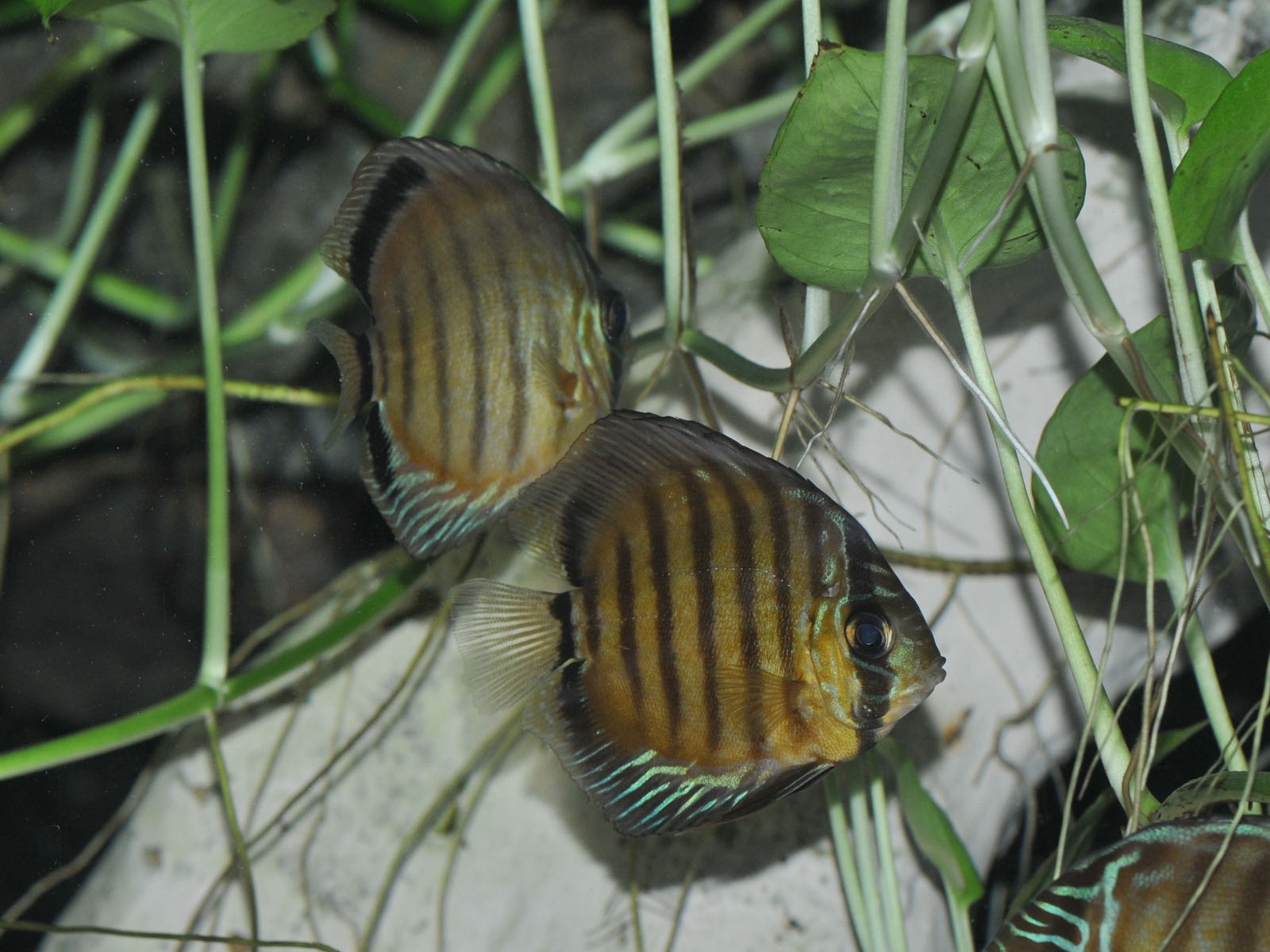 The Online Zoo - Green Discus