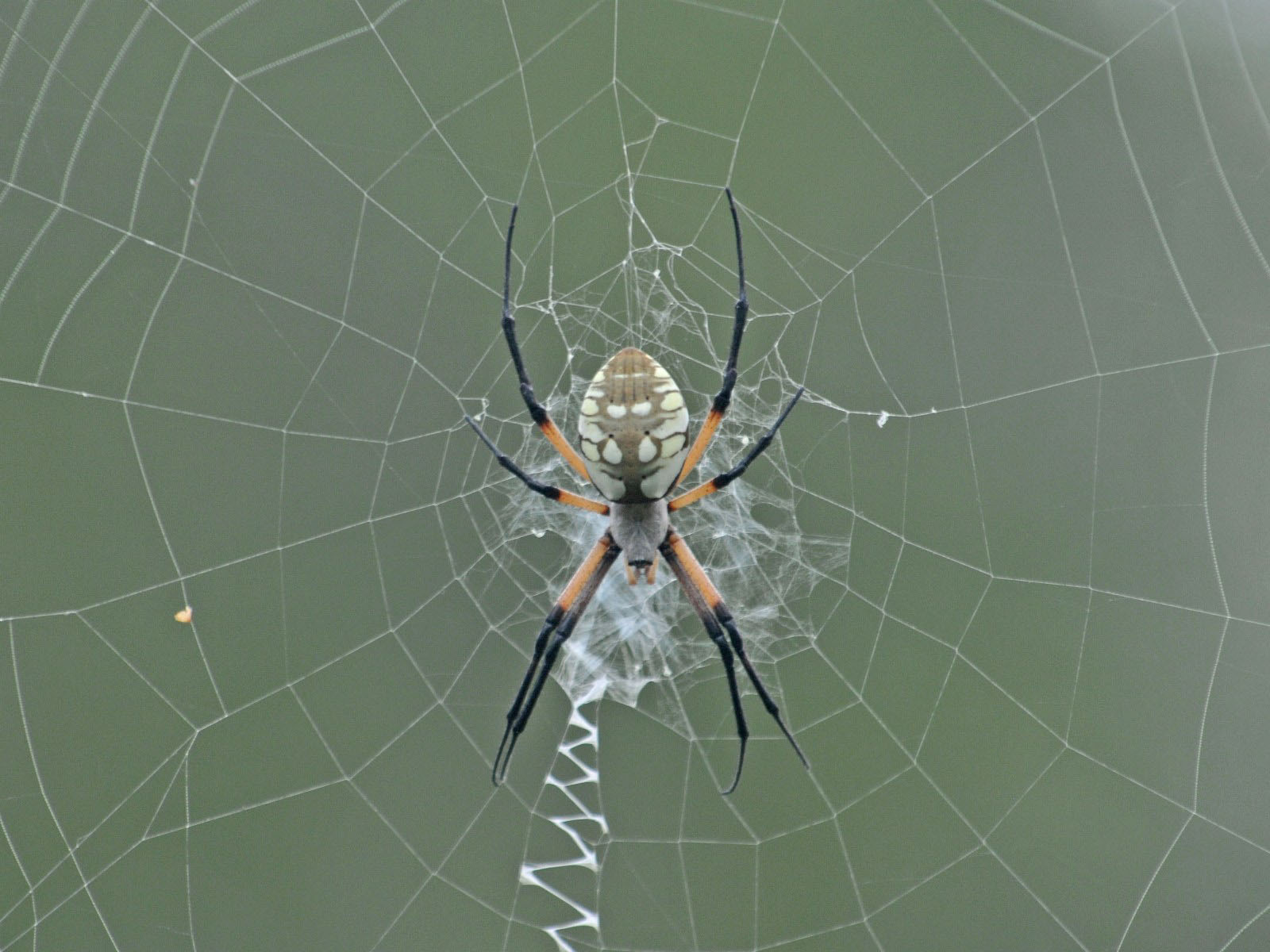 The Online Zoo Black And Yellow Garden Spider