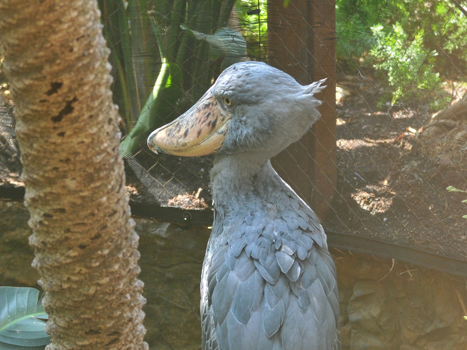 The Online Zoo Shoebill