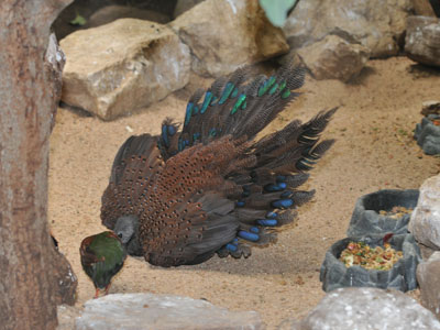 Mountain Peacock-pheasant