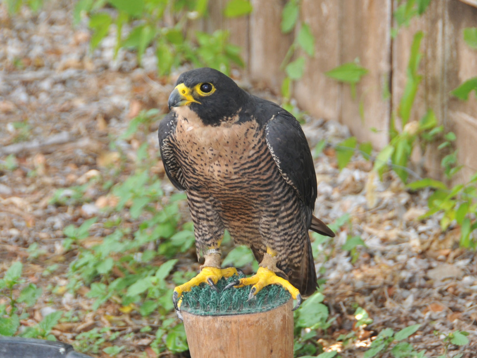 the online zoo peregrine falcon. Black Bedroom Furniture Sets. Home Design Ideas