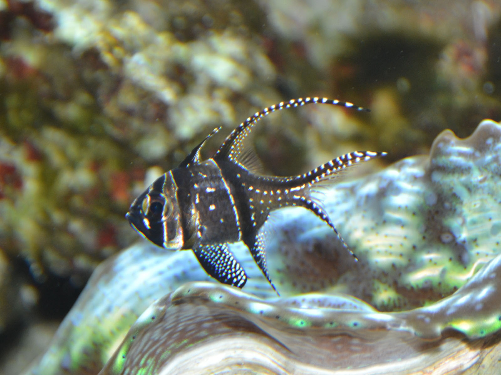 The Online Zoo Banggai Cardinalfish