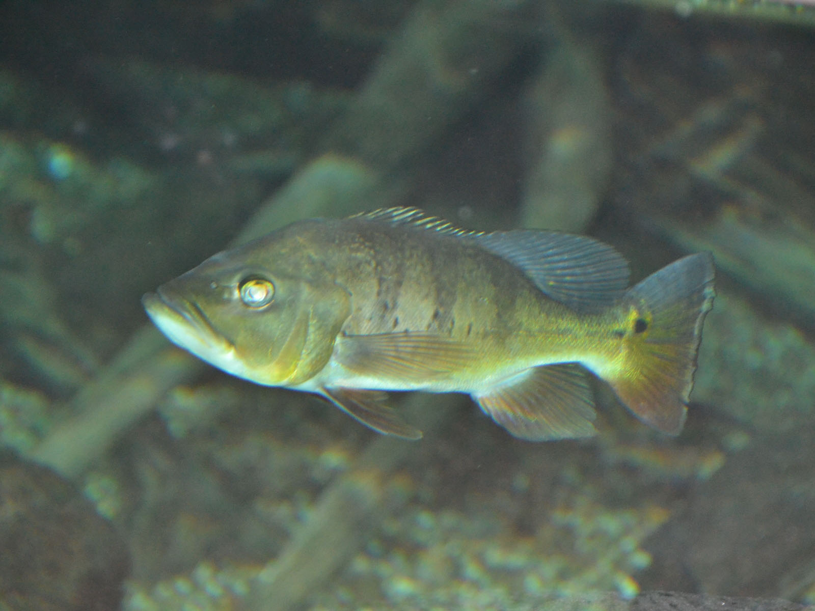 The Online Zoo - Peacock Bass
