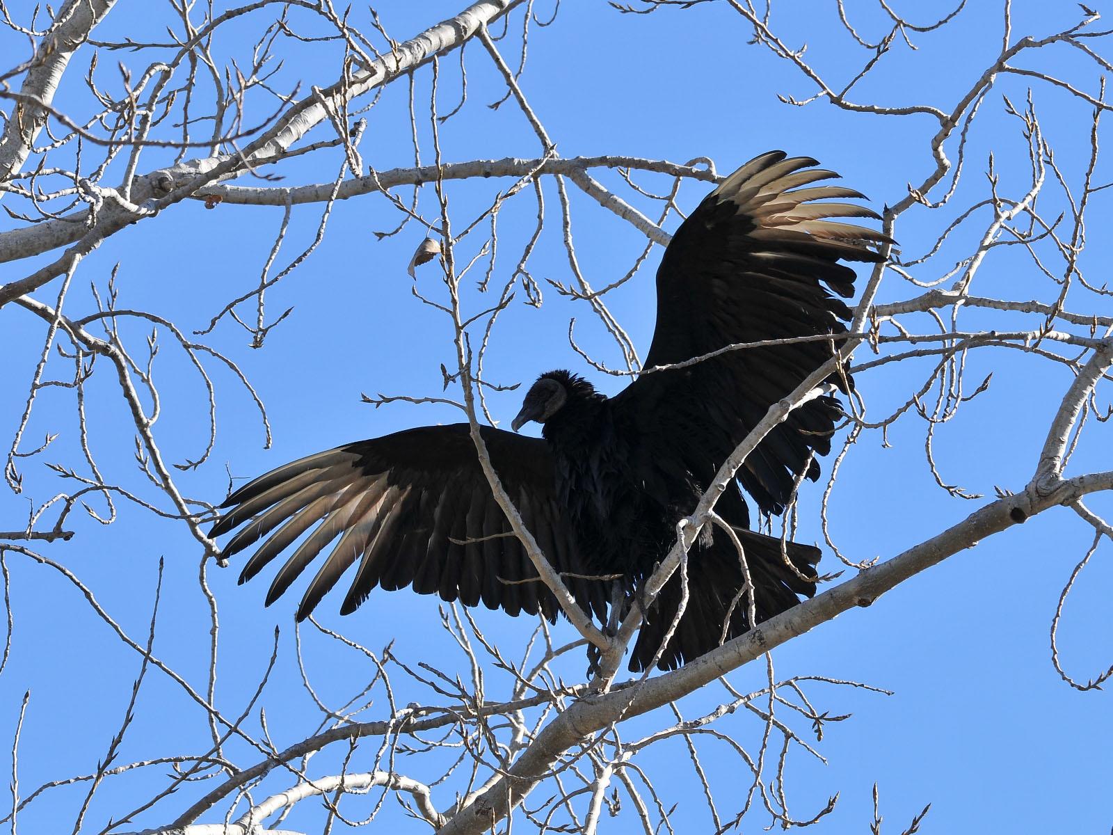 The Online Zoo North American Birds Birds Of Prey