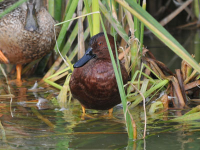 Northern Cinnamon Teal