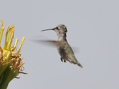 Unidentified Hummingbird