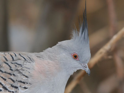 Crested Pigeon