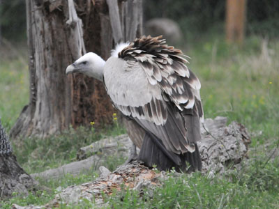 Unidentified Vulture