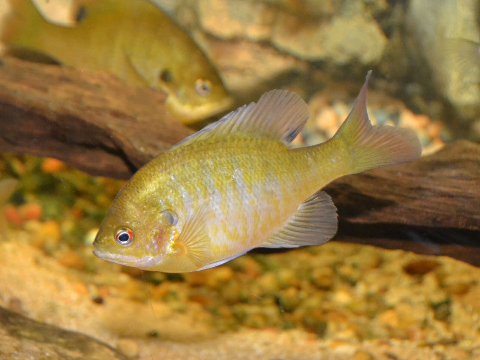 The online zoo bluegill sunfish for Bluegill fish tank
