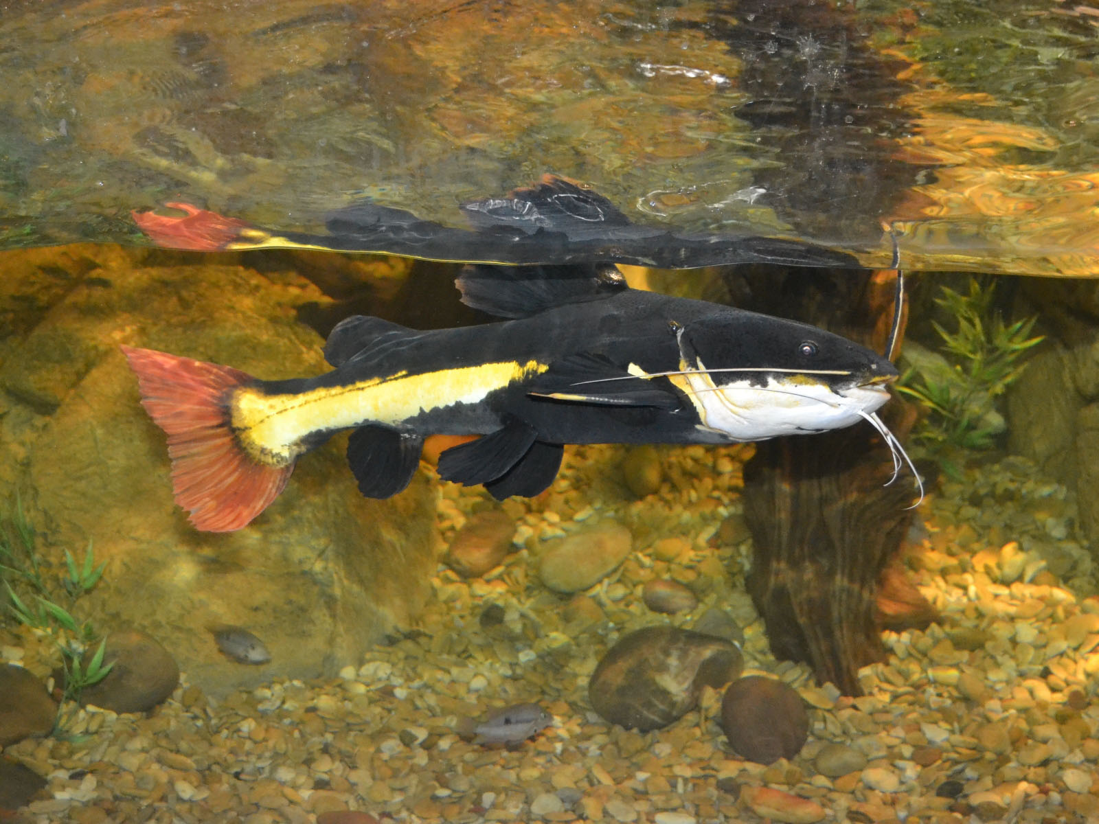 The Online Zoo - South American Redtail Catfish