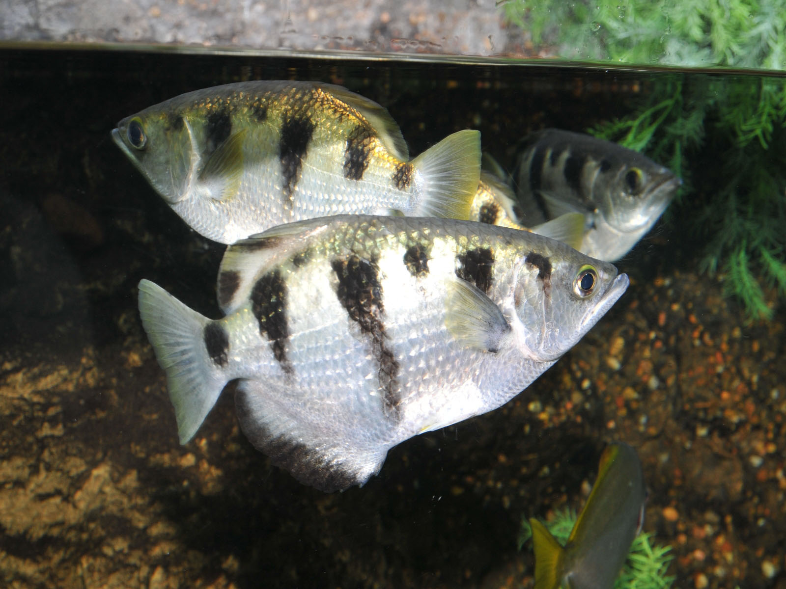 The Online Zoo - Banded Archerfish