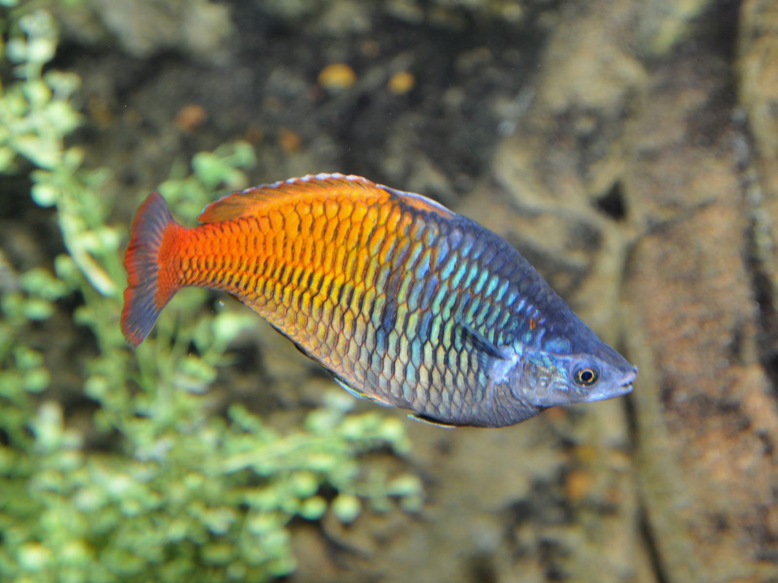The Online Zoo Boeseman 39 S Rainbowfish