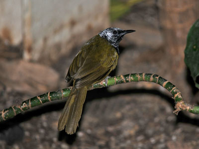 possible Antbird or Antwren
