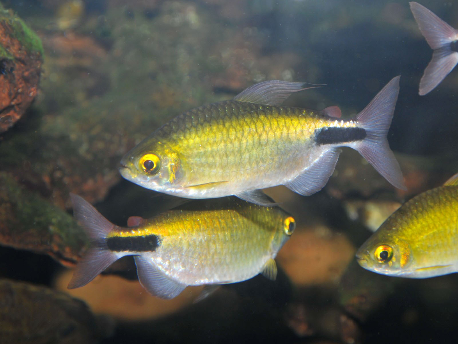 The Online Zoo - Long-finned Tetra
